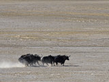 Herd of Wild Yaks Running across the Chang Tang Nature Reserve of Central Tibet., December 2006 Fotografisk tryk af George Chan