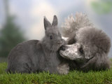 Silver Miniature Poodle Sniffing a Blue Dwarf Rabbit Photographic Print by Petra Wegner