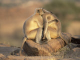 Hanuman Langur Adult Females Embracing, Thar Desert, Rajasthan, India Posters by Jean-pierre Zwaenepoel