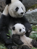 Giant Panda Mother and Baby, Wolong Nature Reserve, China Photographic Print by Eric Baccega