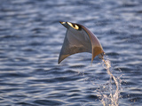 Smoothtail Ray Mobula Flying Out of the Water, Baja California, Sea of Cortez, Mexico Posters by Mark Carwardine