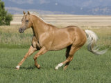 Palomino Stallion Running in Field, Longmont, Colorado, USA Photographic Print by Carol Walker