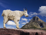 Mountain Goat Adult Shedding Winter Coat, Mount Reynolds, Glacier National Park, Montana, USA Posters by Rolf Nussbaumer