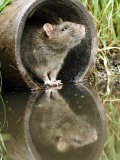 Brown Rat Sniffing Air from Old Pipe, UK Posters par Andy Sands