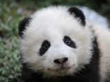 Giant Panda Baby, Aged 5 Months, Wolong Nature Reserve, China Photo by Eric Baccega