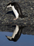 Adult Chinstrap Penguin, Yankee Harbour, Antarctica, January 2007 Photographic Print by Rick Tomlinson