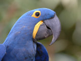 Hyacinth Macaw, Iucn Red List of Endangered Species Photographic Print by Eric Baccega