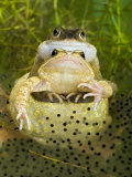 Common Frogs Pair in Amplexus Among Frogspawn, UK Photographic Print by Andy Sands