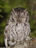Eastern Screech-Owl Adult at Night, Texas, Usa, April 2006 Photographic Print by Rolf Nussbaumer
