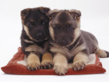 Two German Shepherd Dog Alsatian Pups, 5 Weeks Old, Lying on a Pillow Photographic Print by Jane Burton