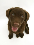 Chesapeake Bay Retriever Dog Pup, 'Teague', 9 Weeks Old Looking Up Photographic Print by Jane Burton