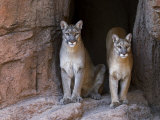 Two Puma Mountain Lion Cougar at Cave Entrance. Arizona, USA Photographic Print by Philippe Clement