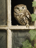 Little Owl in Window of Derelict Building, UK, January Photo by Andy Sands