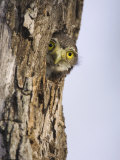 Ferruginous Pygmy-Owl Young Peering Out from Nest Hole, Rio Grande Valley, Texas, USA Photo by Rolf Nussbaumer