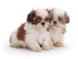 Two Shih Tzu Pups Sitting Together, 7 Weeks Old Photographic Print by Jane Burton