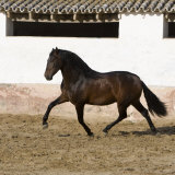 Bay Andalusian Stallion Trotting in Arena Yard, Osuna, Spain Photographic Print by Carol Walker