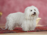 Coton De Tulear Dog Standing on Rug Posters by Petra Wegner