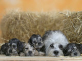 Domestic Dog, Dandie Dinmont Terrier with Four Puppies, 6 Weeks Photographic Print by Petra Wegner