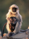Hanuman Langur Adult Caring for Young, Thar Desert, Rajasthan, India Photo by Jean-pierre Zwaenepoel
