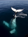 "Humpback Whale Plays Alongside Sy ""Adele"" in the Gerlache Strait, Antarctica, January 2007 Photographic Print by Rick Tomlinson"