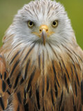 Red Kite, Iucn Red List of Endangered Species Captive, France Reproduction photographique par Eric Baccega
