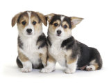 Two Pembrokeshire Welsh Corgi Pups, 9 Weeks Old, Ears Starting to Prick Posters by Jane Burton