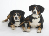 Two Entlebucher Mountain Dogs Lying Down Photographic Print by Petra Wegner