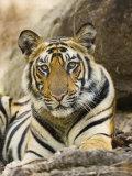 Tiger Portrait Bandhavgarh National Park, India 2007 Photo by Tony Heald