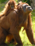 Orang Utan Female with Her Baby on Her Back. Captive, Iucn Red List of Endangered Species Photo by Eric Baccega