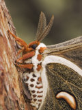 Cecropia Moth Adult Resting on Texas Madrone Bark, Hill Country, Texas, USA Photo by Rolf Nussbaumer