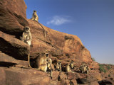 Hanuman Langur Group Sunning, Thar Desert, Rajasthan, India Photographic Print by Jean-pierre Zwaenepoel