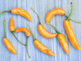 Yellow Chilli Peppers Chillies Freshly Harvested on Pale Blue Background Posters by Gary Smith