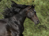 Black Connemara Stallion Running in Field Elizabeth, Colorado, USA Photographic Print by Carol Walker