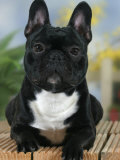 Domestic Dog, French Bulldog Photographic Print by Petra Wegner