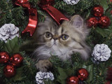 Persian Cat Brown Tabby Kitten Amongst Christmas Decorations, Texas, USA Prints by Rolf Nussbaumer