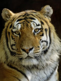 Siberian Tiger Male Portrait, Iucn Red List of Endangered Species Posters par Eric Baccega