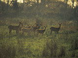 Barasingha Swamp Deer Kaziranga Np, Assam, India Photographic Print by Jean-pierre Zwaenepoel