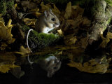 Wood Mouse Cleaning by Woodland Pool in Autumn, UK Photographic Print by Andy Sands