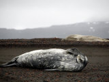 Weddell Seals Bask on the Volcanic Shore Line, Deception Island, Antarctic Peninsula, January 2007 Photographic Print by Rick Tomlinson
