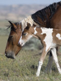 Wild Horse Mustang in Mccullough Peaks, Wyoming, USA Posters by Carol Walker