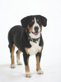 Entlebucher Mountain Dog Standing Poster by Petra Wegner