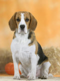Domestic Dog, Beagle Photographic Print by Petra Wegner
