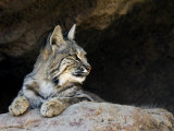 American Bobcat Portrait Resting in Cave. Arizona, USA Posters by Philippe Clement