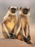 Hanuman Langur Two Adolescents Sitting, Thar Desert, Rajasthan, India Photographic Print by Jean-pierre Zwaenepoel