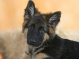 Domestic Dog, German Shepherd Alsatian Juvenile. 5 Months Old Print by Petra Wegner