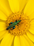 Thick-Legged Flower Beetle on Corn Marigold, Cornwall, UK Posters by Ross Hoddinott