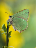 Green Hairstreak Butterfly at Rest on Broom, UK Posters by Andy Sands