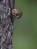 Ferruginous Pygmy Owl Adult Peering Out of Nest Hole, Rio Grande Valley, Texas, USA Posters by Rolf Nussbaumer