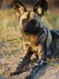 African Wild Dog, Moremi Wildlife Reserve, Botswana Photographic Print by Tony Heald