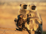 Hanuman Langur Two Mothers with Young of Different Ages, Thar Desert, Rajasthan, India Posters by Jean-pierre Zwaenepoel